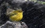 Bird In Rain HD Wallpaper 768x480 150x94 اروع صور للطيور2017