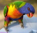 rainbow lorikeet 2 by sirtimid d355t80 150x134 اروع صور للطيور2017
