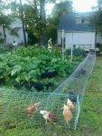 لهواة تربية الدواجن لمحبي تربيه الدجاج