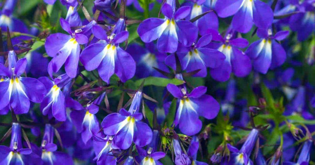 lobelia erinus flower 1200 630 FB 04302018 min 1024x538 علاج التهاب الرئة بالاعشاب الإلتهاب الرئوي .. كورونا أحد فيروسات التي تسبب الالتهاب الرئوى